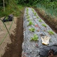 2019 春・夏 白菜の苗の植替え