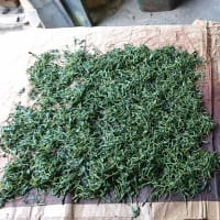 茶摘み2021