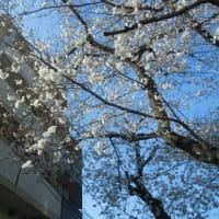 12日ぶりの外出 桜満開