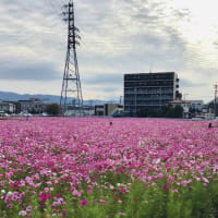 コスモス超満開です!🌸福岡市西区周船寺のコスモス畑