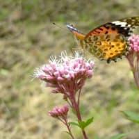 立山の冠雪とフジバカマの蝶