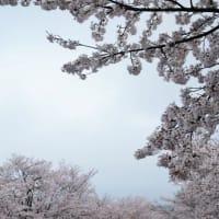 2021年の桜 ~京都~