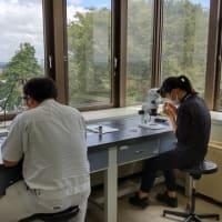 登米産いちごの早期安定出荷に向けて花芽の検鏡を行いました