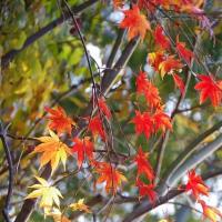 切干きらぼし紅葉また良し