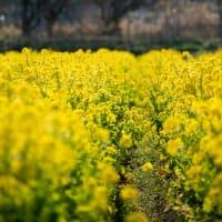 2021.2.21 紀北町中里の菜の花畑