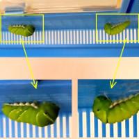 アゲハの幼虫、その後