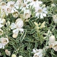 シレネ・ユニフローラ斑入り葉 Silene Uniflora