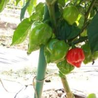 [510]ハバネロから収穫開始