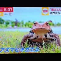 6/19 これ毒カエル 北海道にいるはずないのにいた