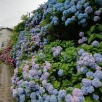 鳴子温泉の紫陽花