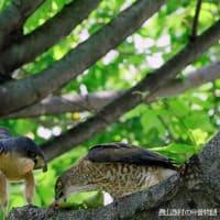 ツミの♀ 餌を食べ巣へ運ぶ