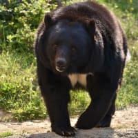 動物園に野生のクマがやって来て、逃げた!