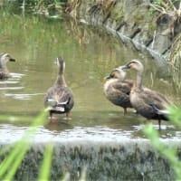 鴨の家族を見かけました