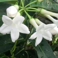 マダガスカルジャスミンの花は