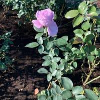 深大寺の秋薔薇、今、盛り!