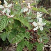 6月入笠湿原の花