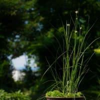 ミカヅキグサ は白い花