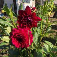 家庭菜園・園芸2019(3) キウリ最盛期 ダリアが咲き始めた