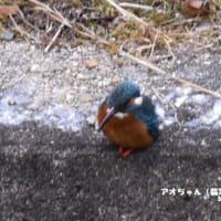 1/22 アオちゃん(翡翠)詣で・・・今は日二の次・・・・そんなバードウオッチングでした!