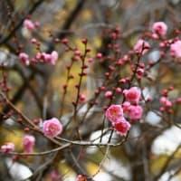 名勝 縮景園の梅