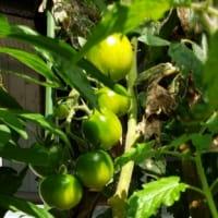 中玉トマトも健在です