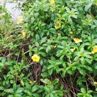 鴬の地鳴きが始まった昨今、朝から庭でも❗️小さな小鳥の鳴き声も❗️