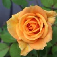 「薔薇の季節」
