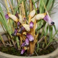 「おはようの花」 ナンバンギセル(南蛮煙管)  11月