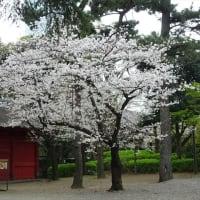 「桜」/増上寺2020