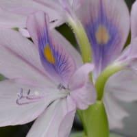 アオイ科以外の葵