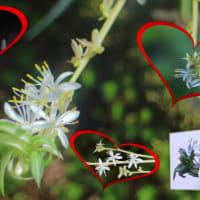 ●我が家の8月の花(11)  オリヅルラン