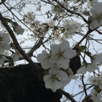 はやいなぁー、 もう 「千原桜(ちはらざくら)」が咲いていました。