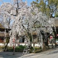 京の桜 2020 平野神社 魁櫻(さきがけざくら)