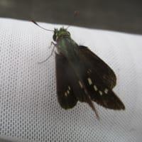 tチャバネセセリ蝶の世界