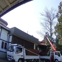 神奈川県内の神社でエノキの枝下ろしを行いました