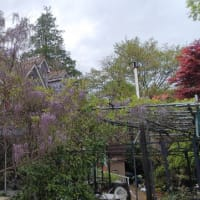藤の木(⁉️)