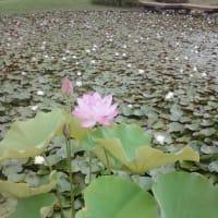 加東市平池公園のハス見頃