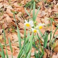冬の散歩道・・紫陽花公園のロウバイが咲き始めました(⋈◍>◡<◍)。✧♡