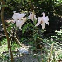 美しく気品ある箕面市の花「ササユリ」が咲きました!