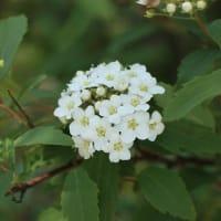 コデマリと野の花