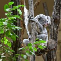 動物園・Koala