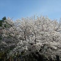 「桜」/青山霊園