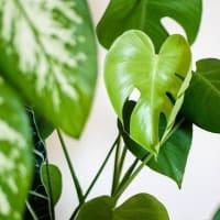 葉っぱの広い観葉植物がお得です!