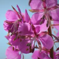 鎮火花、草原の八月花