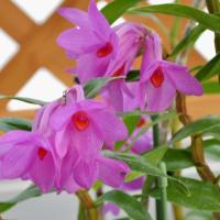 花びらが輝く グロメラツム
