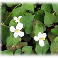 梅雨のころに咲き始める花(^^♪清楚な美しい十字型の白い花「どくだみの花」