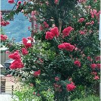 【北海道では咲かない花がある・・・】