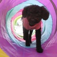 すくすく成長中のパピーちゃん【ナルちゃん編】  犬のしつけ教室@アロハドギー