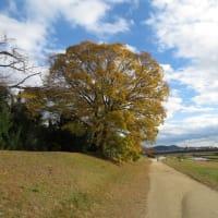 賀茂川のトビ