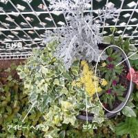 春から秋への寄せ植えを作ったとです( `ー´)ノ